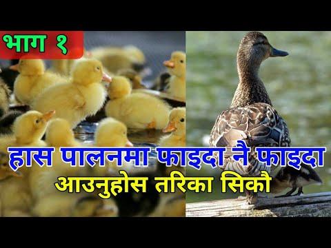ब्यबसायिक हास पालन कसरी गर्ने ? Has Palan in Nepal [भाग १ ] नेपालमा पालिने  जातहरु | Nepalese Duck