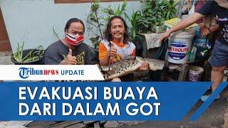 Detik-detik Evakuasi Buaya 165 Cm dari Got di Jakbar, Warga Kira Biawak, Mulutnya Mangap-mangap