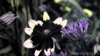 preview picture of video 'Rudbeckia_hirta_c.avi'