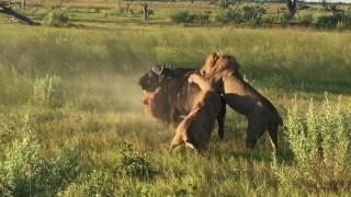 Lions attack buffalo in Okavanga Delta Botswana. &Beyond Xudum Lodge