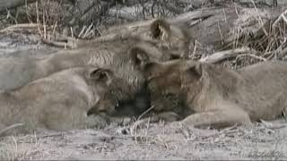 lions eat baboon    1 狮子吃狒狒