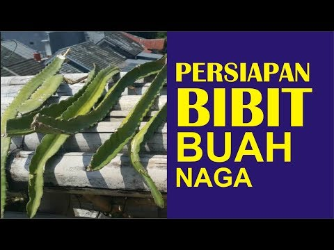 Video Cara Budidaya Buah Naga Part 1 - [ PERSIAPAN BIBIT BUAH NAGA UNGGULAN]