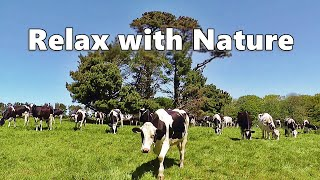 Dog TV Relaxation : Videos for Dogs - Cows In The Field ~ Relax with Nature