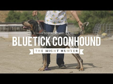 ALL ABOUT BLUETICK COONHOUND