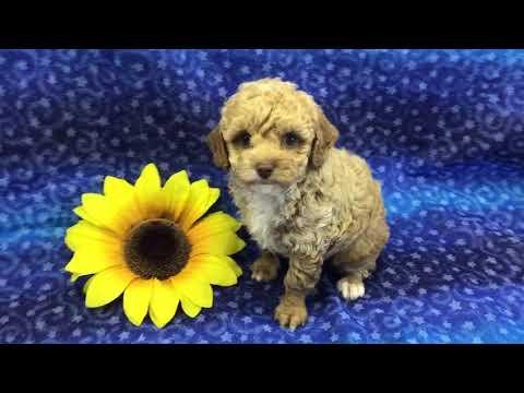 Redwhite boy toy poodle