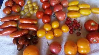 Любимые сорта томатов.