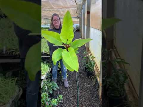 Philodendron Golden melinonii