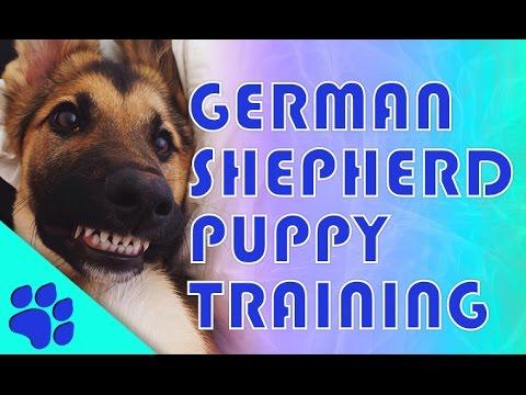 German Shepherd Training: How to Train a German Shepherd Puppy in 10 steps.