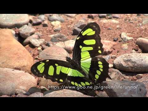 タテハチョウの仲間の吸水(ペルー)