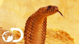 The Most Deadly Snake Of The Egyptian Desert | Wildest Middle East
