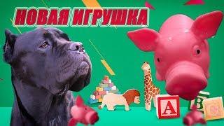 Собака Кане Корсо Деррек и игрушка свинка.#canecorso