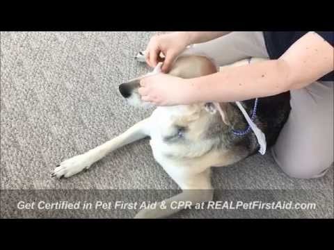 Pet First Aid Class Training: Muzzling a dog with rolled gauze ...