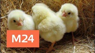 Цыплята в Грузии атаковали город Марнаули . Их бросили на свалке. Яйца считали испорченными