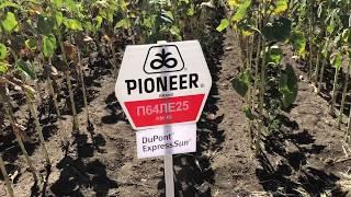Обзор гибридов PIONEER 🌻 уборка подсолнечника 2018