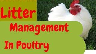 Lower bacterial Disease by Litter care! मुर्गी फार्म दुर्गन्ध,पेट में पानी,मृत्यु दर कम करें!