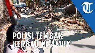 Kerbau Kurban Ngamuk di Kudus Seruduk Warga, Polisi Lepaskan Tembakan
