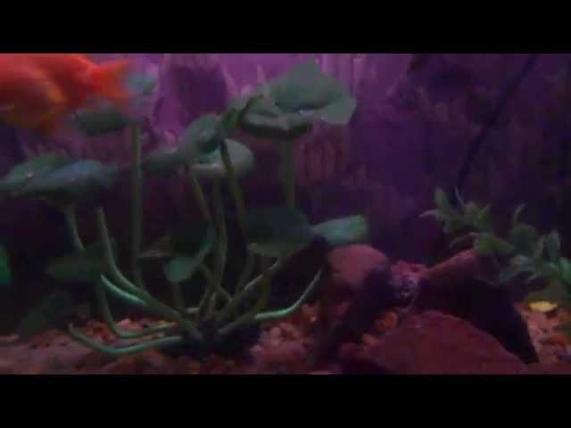 mis peces goldfish, banderita, escalar, ciclidos, coridora y espada