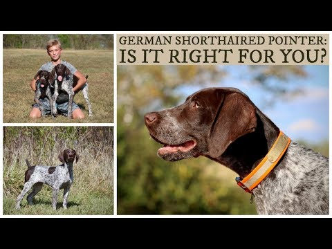 German Shorthaired Pointer | Is It Right For You?