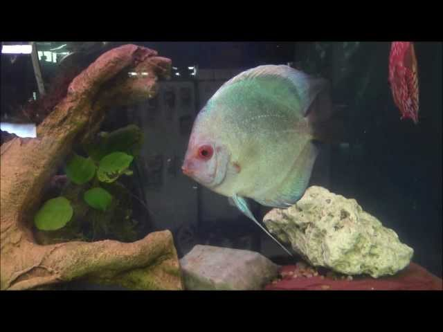 How to keep Discus fish Part 1