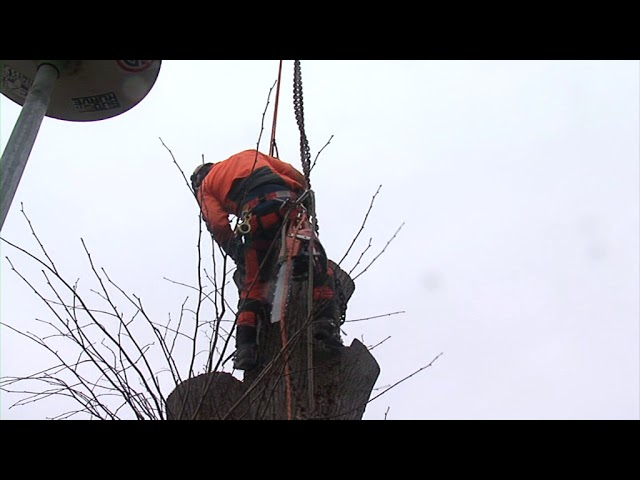 Baumfällen mit Pneukran und Klettertechnik