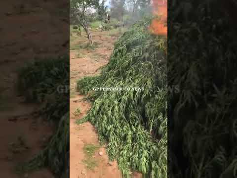 Polícia eradica 40 mil peis de maconha em abaré entérico da Bahia