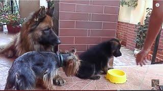 Funny family. Немецкая овчарка Вольф, йорк Ричард и щенок. Одесса.