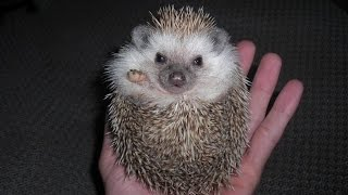 Hedgehogs - DONT Purchase Before Watching THIS!