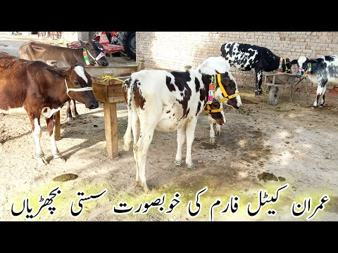 , title : 'Beautiful Heifers For Sale at Imran Dairy Farm Jhang