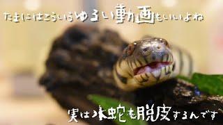 水蛇の脱皮後が美しすぎる!?