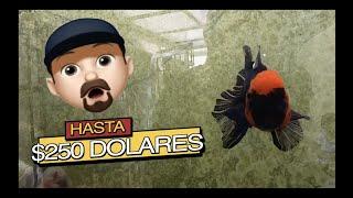 LOS GOLDFISH MAS COSTOSOS Y RAROS||||||😱🐡🐡🐡