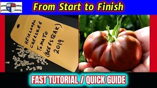 How To Grow Heirloom Tomatoes & Harvest The Seeds Fast Tutorial