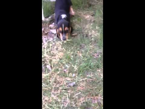 AKC Registered  Male Beagle Pup
