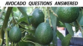 Your Avocado Growing Questions Answered - Tips For Growing Great Avocados