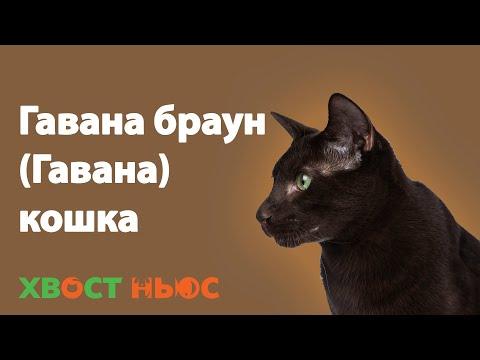 Кошка Гавана. Все о породе Гавана Браун