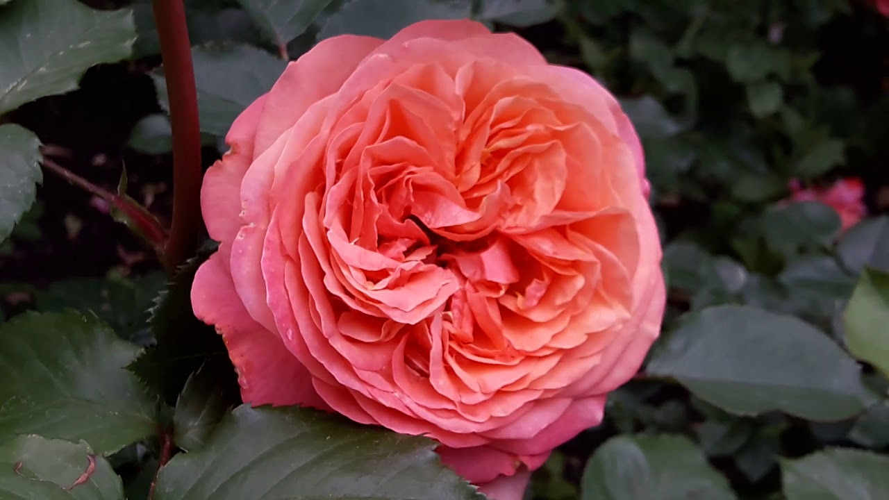 Роза Mary Ann Tantau Германия, 2010 в моём саду