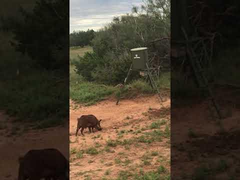 Archery Boar Hunts Texas