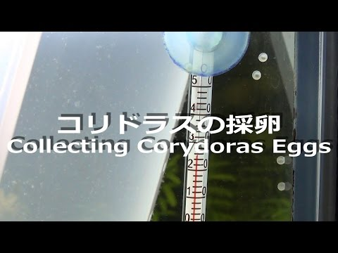 コリドラスの採卵/How to Collect Corydoras Eggs
