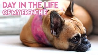 DAY IN THE LIFE OF MY FRENCH BULLDOG