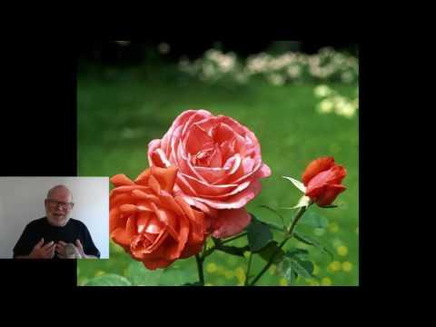 Storblomstrede roser. Roser til haven. Køb og få leveret.
