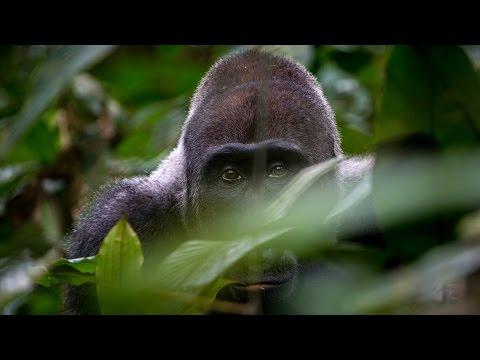 2017  _  Gabun _  Im Land der Gorillas    Tiere Doku HD