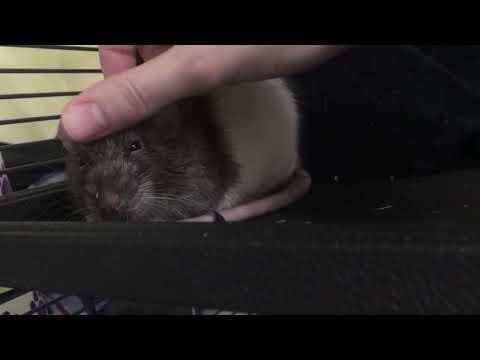 Templeton, an adoptable Rat in Saint Paul, MN