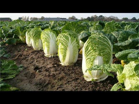 Beautiful Chinese Cabbage Farm and Harvest in Japan - Japan Agriculture Technology #47