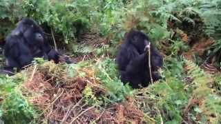 preview picture of video 'Gorilla Tracking in Rwanda - Family (31)'
