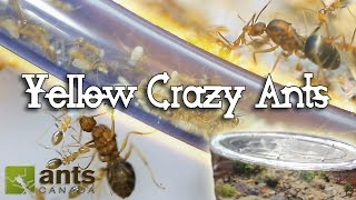 Ant War or Supercolony: New Yellow Crazy Ants