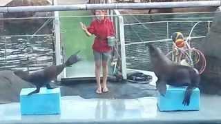 Дрессированные морские котики ч.2