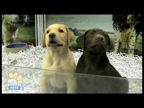 Golden Retriever & Labrador Retriever - G-Portál - Labrador férgek