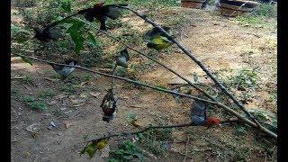Pikat Burung Kolibri Dapat Banyak Menggunkan Mp3