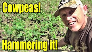 Cotton Candy for Deer:  How to Plant Iron & Clay Cowpeas!