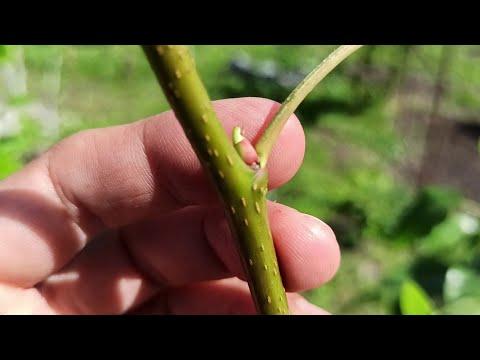 Gyűrűs paraziták