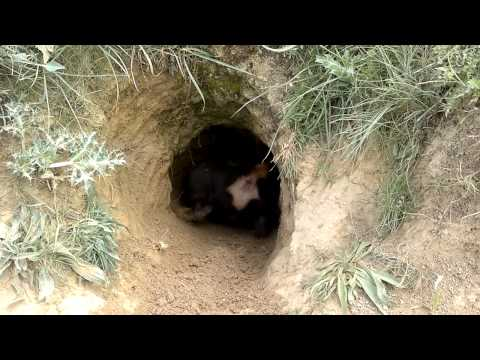 Jagd Terrier entrando en cueva .